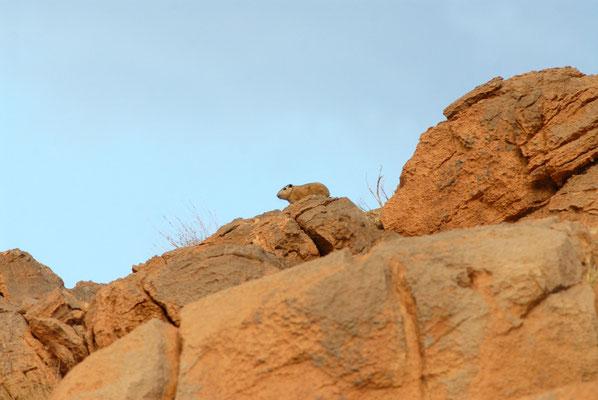 Goundi de l'Atlas (Ctenodactylus gundi). Près de Figuig ©Michel AYMERICH