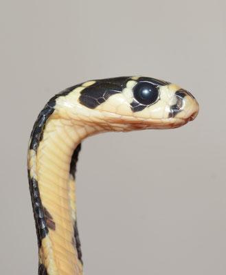 Jeune cobra royal (Ophiophagus hannah). Venomous! Août 2016 ©Michel AYMERICH