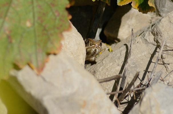 Couleuvre de Montpellier (Malpolon monspessulanus), femelle © Michel AYMERICH