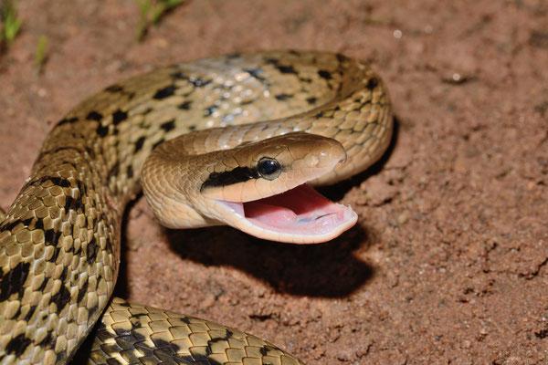 Serpent ratier (Orthriophis taeniurus). Province de ANHUI   ©Michel AYMERICH