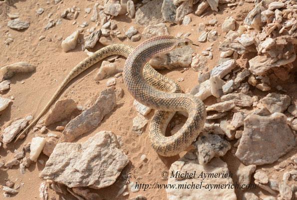 Couleuvre de Moïla imitant un cobra.