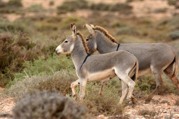 Ânes ensauvagés (Equus asinus) au Sahara, entre Khaoui Naam et Akhfenir ©Michel AYMERICH