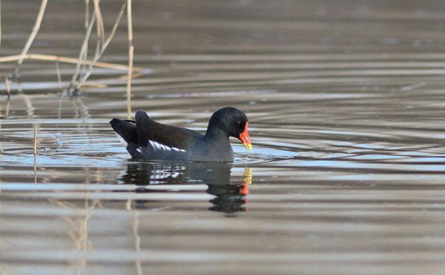 Gallinule poule-d'eau (Gallinula chloropus), Aigues-Mortes (Gard) ©Michel AYMERICH