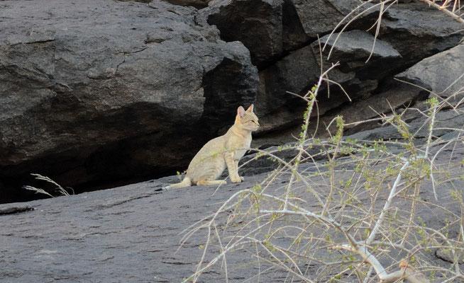 Chat ganté, Felis lybica, massif de Derraman à l'est d'Aoussard © Michel Aymerich
