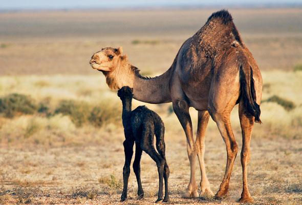 Dromadaire (Camelus dromedarius) sur la route d'Aousserd ©Michel AYMERICH