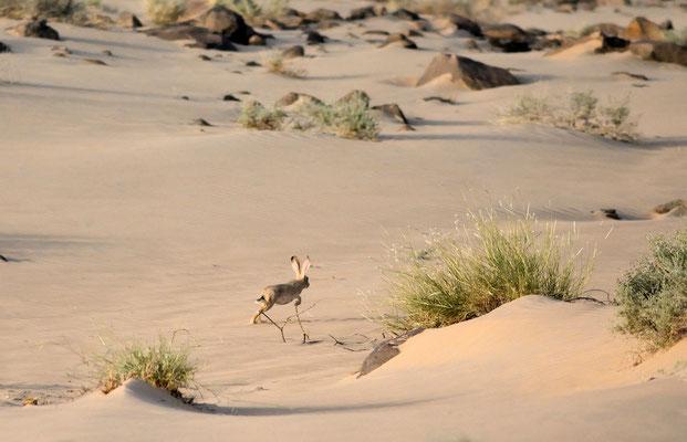 Lièvre du Cap (Lepus capensis) en fuite. Région d'Aousserd ©Michel AYMERICH