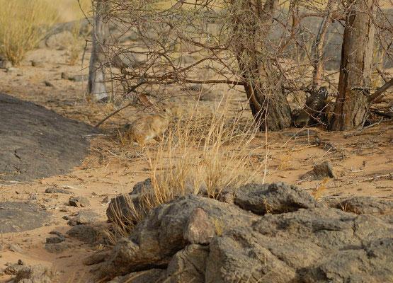 Lièvre du Cap (Lepus capensis). Région d'Aousserd ©Michel AYMERICH