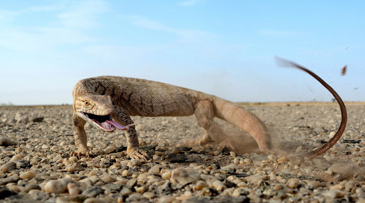 Varanus griseus fouettant de sa queue pour se défendre, désert du Tiris, Sahara atlantique © Michel Aymerich