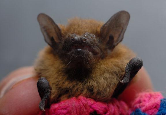 Pipistrelle de Kuhl (Pipistrellus kuhlii). Foum-Assaka  ©Michel AYMERICH