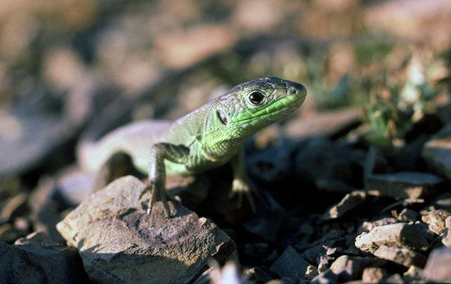 Lézard vert (Lacerta bilineata) juvénile © Michel AYMERICH