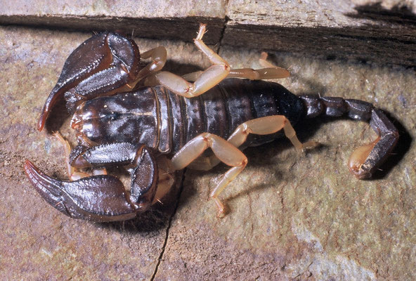 Scorpion noir à queue jaune (Euscorpius flavicaudis) adulte (Hérault) ©Michel AYMERICH
