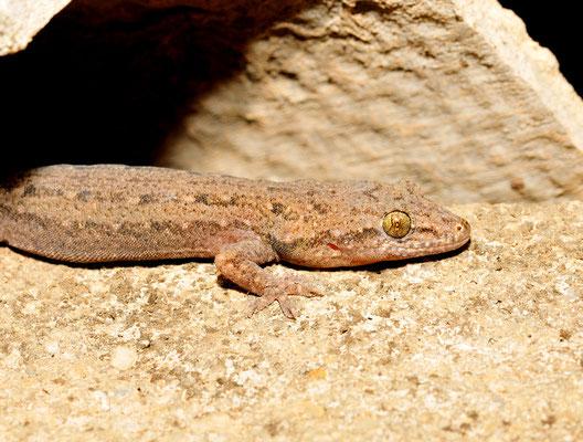 Gecko. Province du Yunnan,  juin 2017 ©Michel AYMERICH