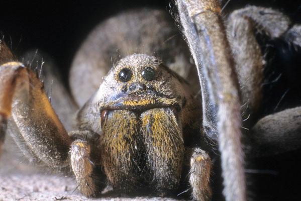 Lycose de Narbonne ou tarentule (Lycosa tarantula) Hérault ©Michel AYMERICH