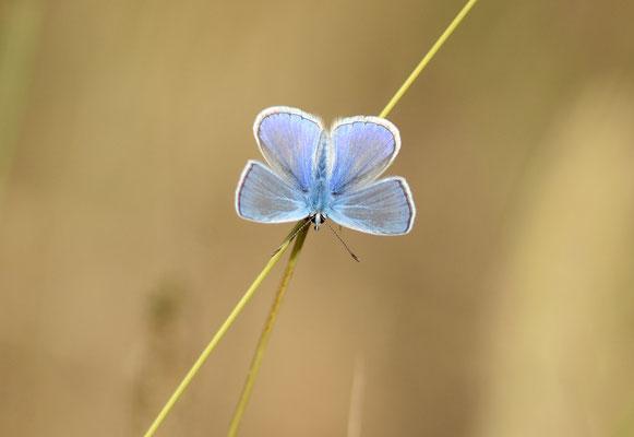 Azuré bleu-céleste ou Bel-argus (Lysandra bellargus),  Montpellier (Hérault) ©Michel AYMERICH