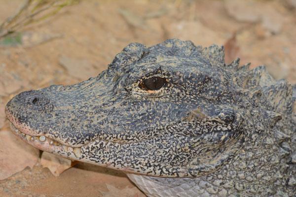 Alligator de Chine (Alligator sinensis). Province de ANHUI  ©Michel AYMERICH