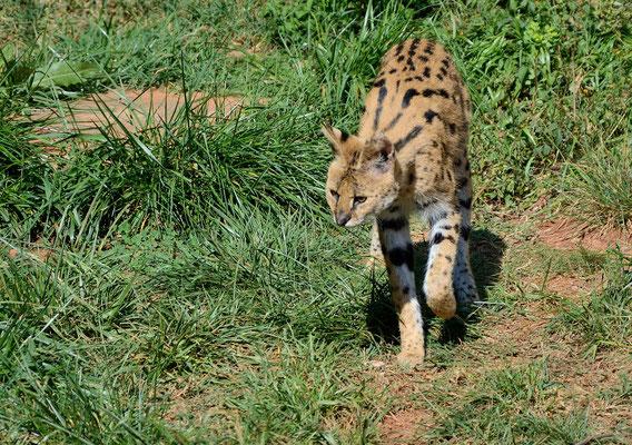 Serval (Leptailurus serval). Parc zoologique de Rabat  ©Michel AYMERICH