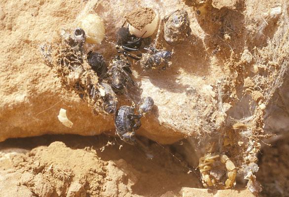 Veuve noire (Latrodectus tredecimguttatus) avec des cocons et des restes de proies consommées. En bas à droite, les restes d'un scorpion ©Michel AYMERICH