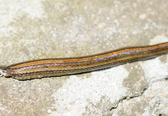 Serpent mort, partiellement dévoré, trouvé dans une rivière de la province de Anhui. Genre Hebius (Amphiesma)? ©Michel AYMERICH