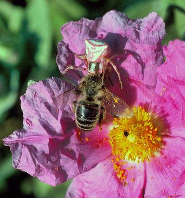 Thomise enflée (Thomisus onustus) neutralisant une abeille,  Hérault ©Michel AYMERICH
