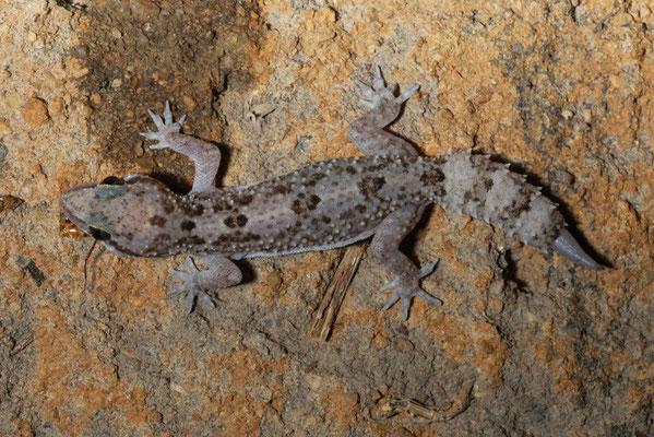 Espèce de gecko © Michel Aymerich