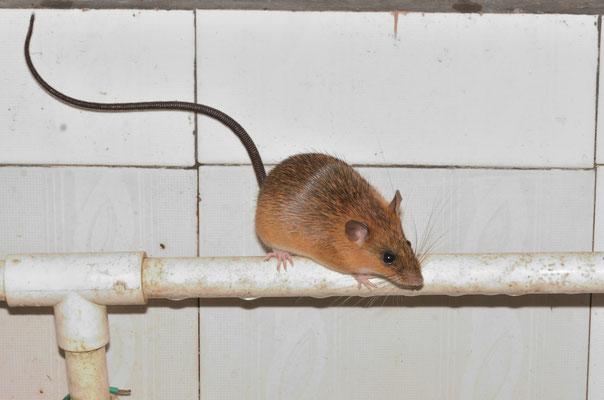 Chinese Jumping Mouse (Eozapus setchuanus). Réserve naturelle de Mangshan près de Chenzhou (HUNAN) ©Michel AYMERICH