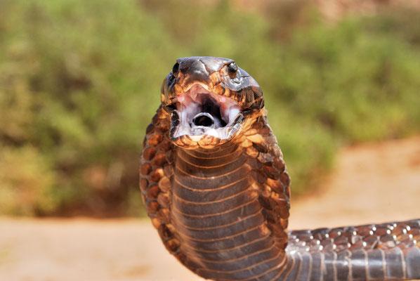 Cobra d'Afrique du Nord (Naja haje legionis) ouvrant la gueule pour intimider, comportement qui complète le déploiement de la coiffe....©Michel AYMERICH