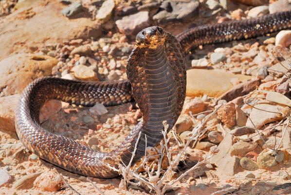 Cobra d'Afrique du Nord (Naja haje legionis) ©Michel AYMERICH