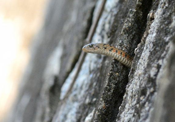 虎斑颈槽蛇(Rhabdophis tigrinus), Nali (Guangxi).  Novembre 2018 ©Michel AYMERICH