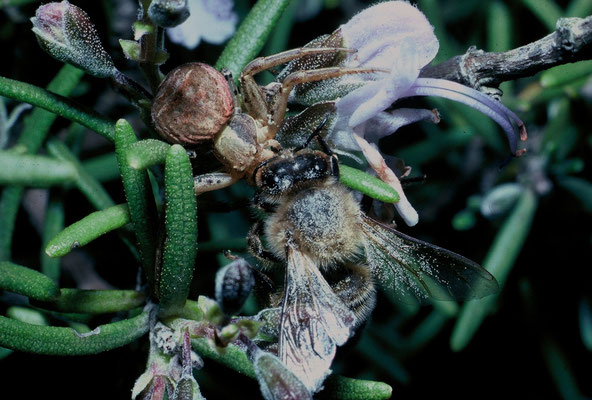 Xysticus sp. neutralisant une abeille (Hérault) ©Michel AYMERICH