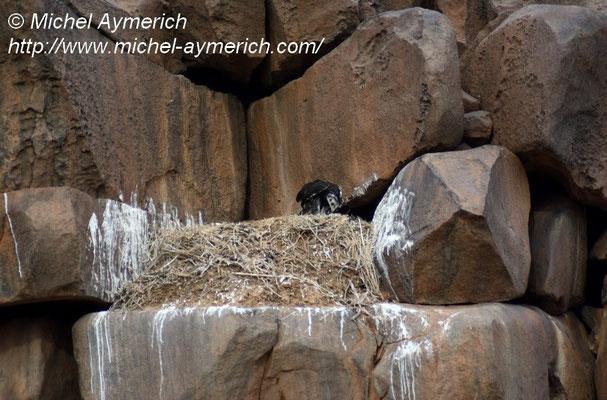 Aigle royal juvénile, une semaine avant son envol, mangeant une proie amenée par sa mère. Adrar soutouf.