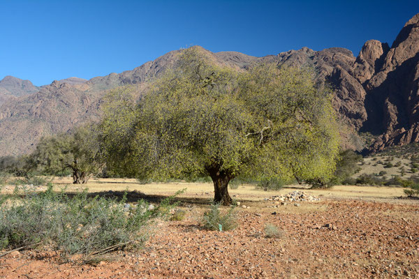 Majestueux arganier à Tafraoute ©Michel AYMERICH