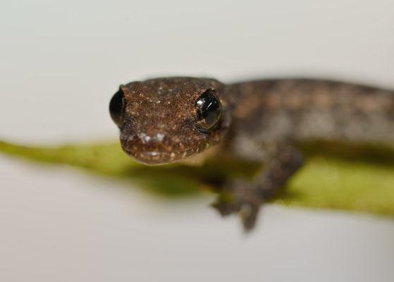 Gecko juvénile à Mangshan près de Chenzhou (HUNAN) ©Michel AYMERICH