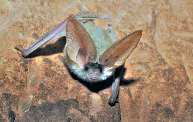 Oreillard de Gaisler (Plecotus gaisleri). Près de Figuig ©Michel AYMERICH