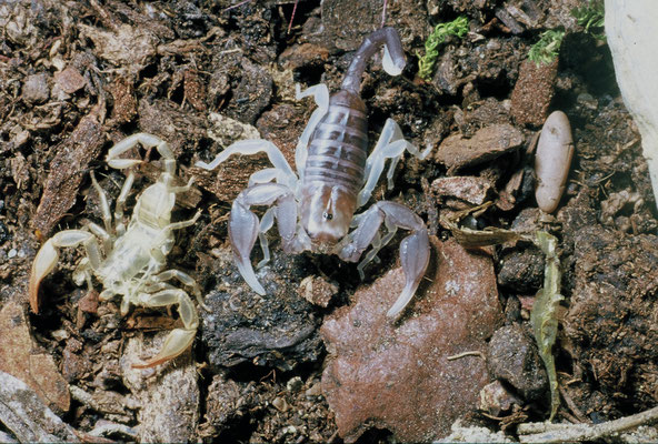 Scorpion noir à queue jaune (Euscorpius flavicaudis) juvénile à côté de son exuvie (Hérault) ©Michel AYMERICH