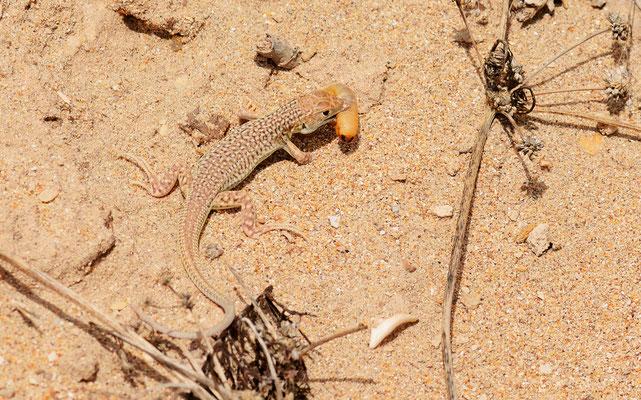 Acanthodactylus dumerili ©Michel AYMERICH