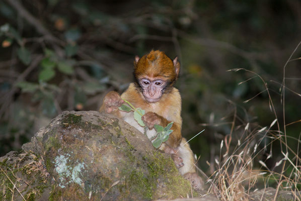 Jeune macaque de Barbarie (Macaca sylvanus). Forêt de cèdres, près d'Azrou ©Michel AYMERICH