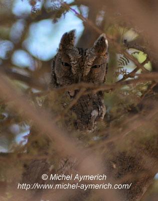 Petit-duc scop en migration, oued jena. © Michel AYMERICH