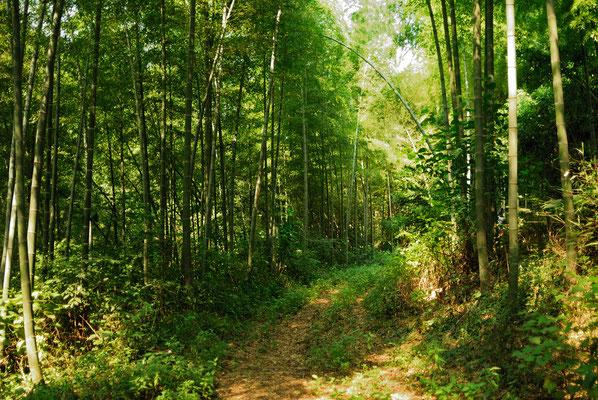 Forêt de bambous dans la province de ANHUI ©Michel AYMERICH