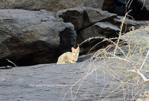 Chat ganté observant à grande distance le photographe © Michel Aymerich