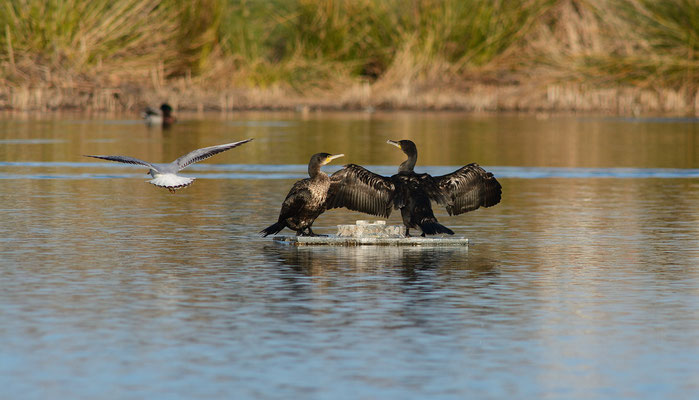 Grands cormorans (Phalacrocorax carbo), Montpellier (Hérault) ©Michel AYMERICH