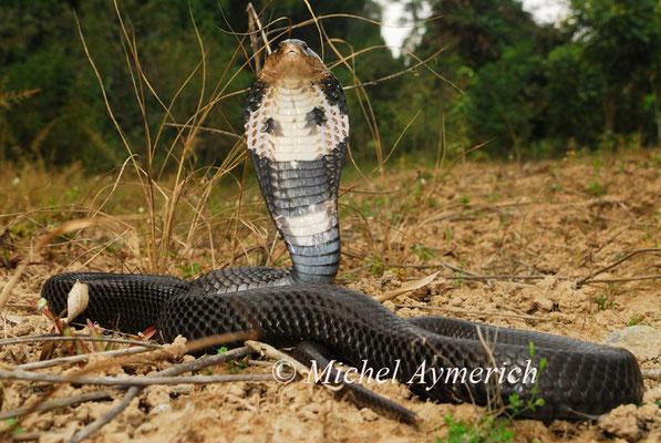Cobra chinois, Naja atra ©Michel AYMERICH