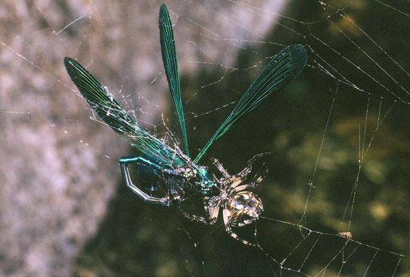 Epeire diadème (Araneus diadematus) ayant capturé une libellule (Hérault) ©Michel AYMERICH