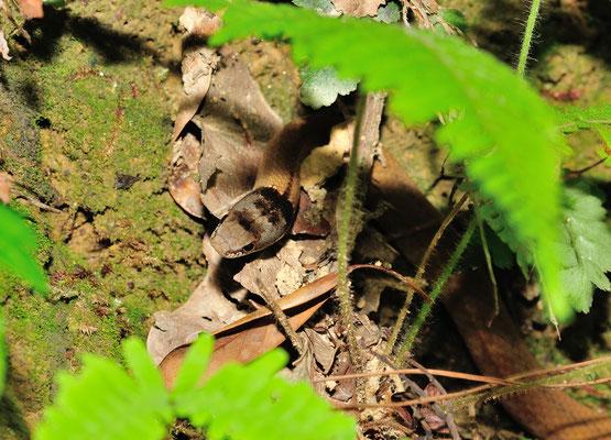黑头剑蛇 (Sibynophis chinensis).  Non-venomous! Guangxi, Chine 2017 ©AYMERICH Michel
