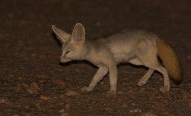Fennec (Vulpes zerda).  Région de Bir Anzaran. Sahara atlantique ©Michel AYMERICH