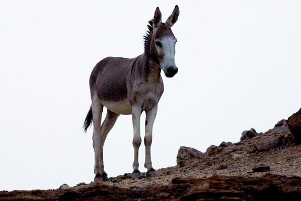 Âne ensauvagé (Equus asinus) au Sahara ©Michel AYMERICH