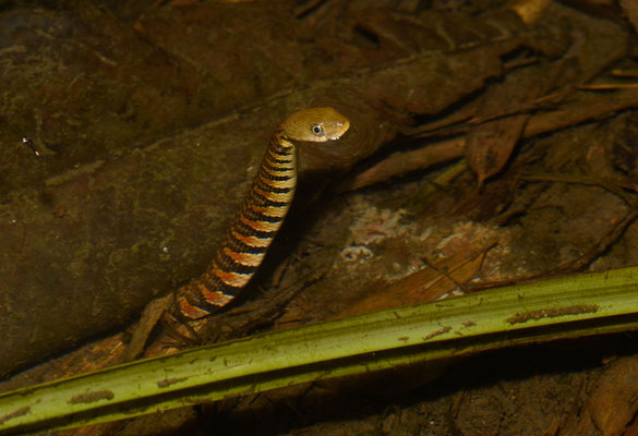 Sinonatrix percarinata. Non-venomous! Juillet 2016 ©Michel AYMERICH