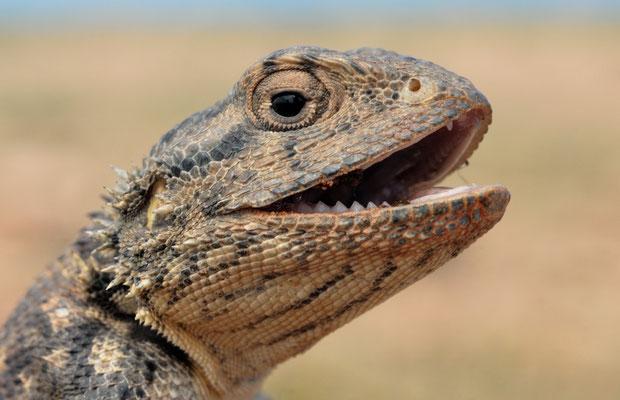 Agame de Bibron (Agama impalearis) ©Michel AYMERICH