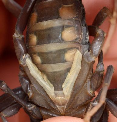 Partie ventrale et peignes (organes spécifiques aux scorpions couverts de milliers de capteurs chimiques) de l'Androctonus sp.  Cascades de Khaoui Naam. Photo Gérard VIGO ©Michel AYMERICH