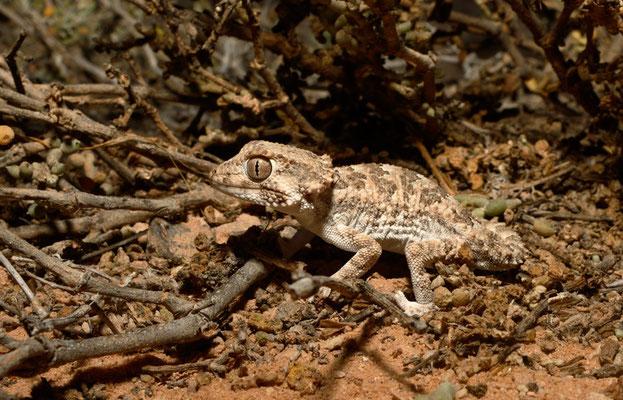 Gecko casqué, tarentola (geckonia) chazaliae © Michel Aymerich
