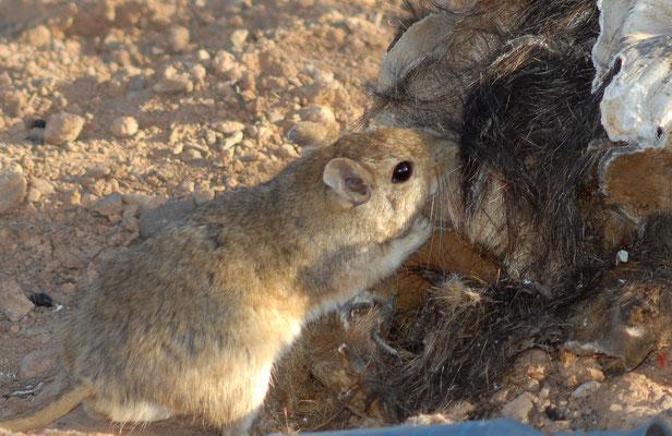 Grande mérione (Meriones grandis)  mangeant des restes de charogne. Près de Fask ©Michel AYMERICH